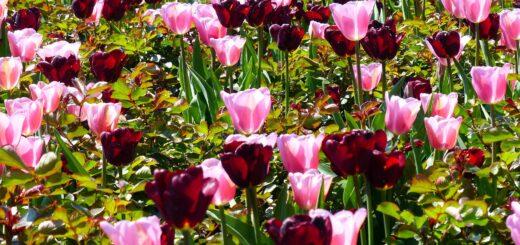 tulips-1376188_1920